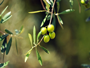 Olive tree with olives, mediterranean product