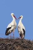 White stork couple