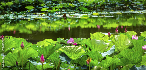 Foto op Aluminium Beijing Pink Lotus Garden Reflection Summer Palace Beijing China