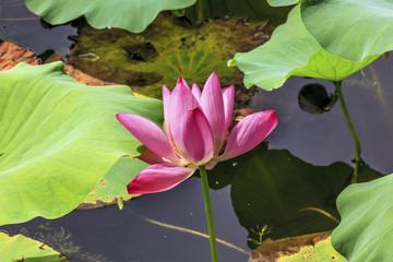 Pink Lotus Flower Close Up Beijing China