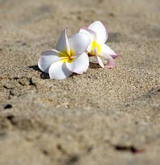 flowers Plumeria alba