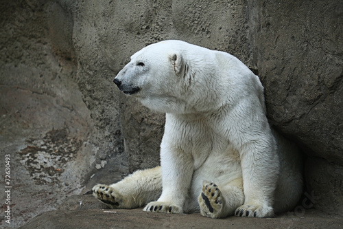In de dag Ijsbeer Polar bear in a zoo