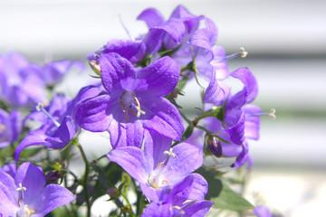 bellflower, Campanula portenschlagiana