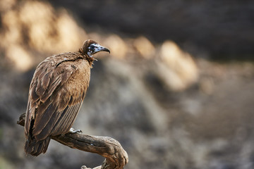 Hooded vulture perched on a branch
