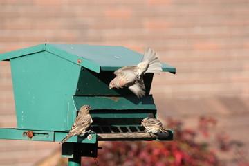 House Finch (F) (Carpodacus mexicanus) on Feeder)