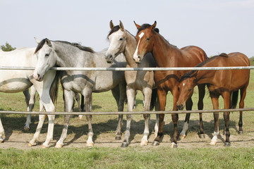 Purebred mares standing in farmland summertime