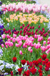 spring time - Tulpenwiese - bunte Blüten