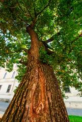 Albero di Leccio, foglie e tronco, campagna