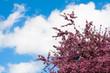 spring time - rosa Kirschblüten und blauer Himmel