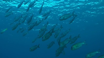 Shoal of  Humpnose bigeye bream