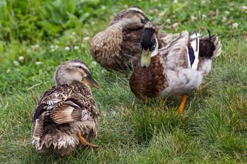 Ducks in Khabarovsk Russia