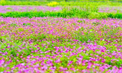 Field of pink chinese milk vetch, Astragalus sinicus