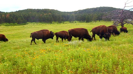 Bison Custer State Park South Dakota