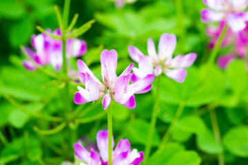 Field of chinese milk vetch, Astragalus sinicus