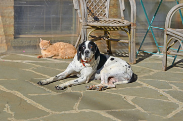 cat and dalmatian dog in a yard