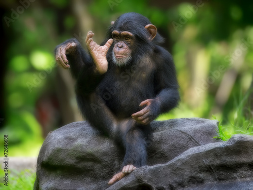 Common Chimpanzee - 72646688
