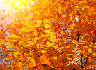 Autumn Maple Yellow Leaves. Outdoor. Fall Background