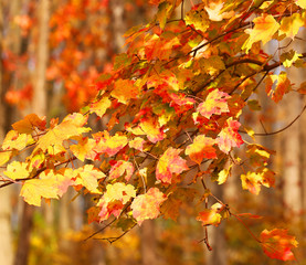 Colorful Maple Leaves. Fall Background