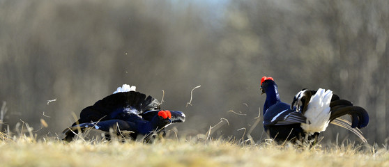 Lekking Black Grouse ( Lyrurus tetrix).
