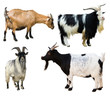 Set of  goats. Isolated over white