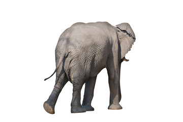 Rear view of entire elephant walking on white