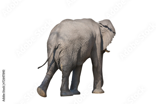 Papiers peints Elephant Rear view of entire elephant walking on white