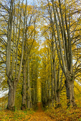 Avenue of big trees.