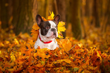 Portrait of french bulldog in autumnal scenery