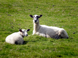 Two sheep in field