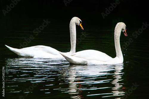 Fotobehang Two white swans on lake