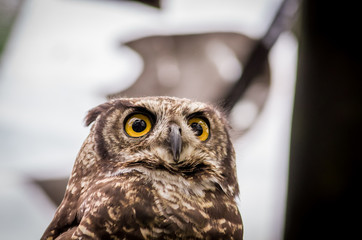 close up of brown owl face outdoors