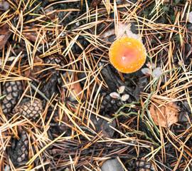 Poisonous orange mushroom in forest