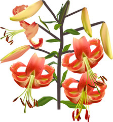 isolated branch with orange lily flowers