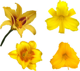 four yellow isolated lily blooms