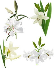 four isolated white lily flowers