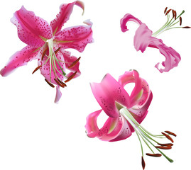 three pink lily flowers isolated on white