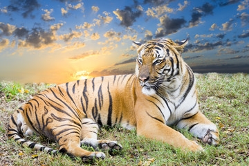 Adult Tiger at Dawn