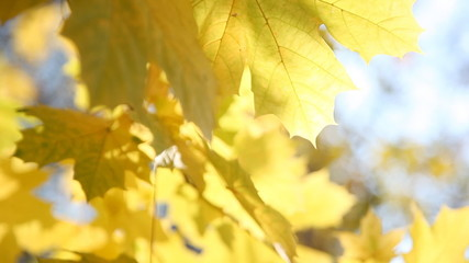 Yellow maple leaves close up