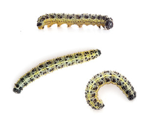 Caterpillars of Large cabbage white butterfly, Pieris brassicae,