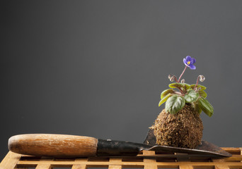 Still life with blooming violet and garden shovel