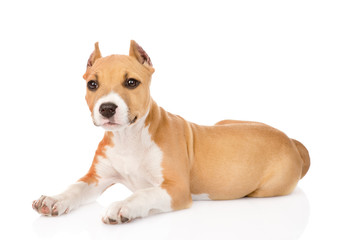 portrait staffordshire terrier puppy with cropped ears. isolated