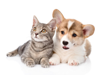 Pembroke Welsh Corgi puppy lying with cat together and looking a