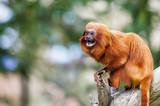 Singe tamarin lion à tête dorée