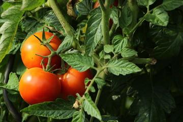 Drei rote Tomaten am Strauch
