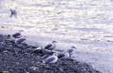 Mew gull at beach. poster