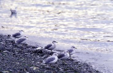 Mew gull at beach.