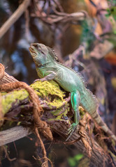 Portrait of green iguana sitting on the tree.