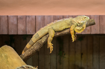 Portrait of orange iguana on the tree.