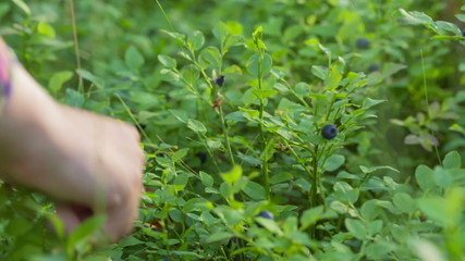 teen girl collects blueberries in forest, handheld video