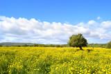 Fototapeta Panorama con prato fiorito - albero di ulivo.
